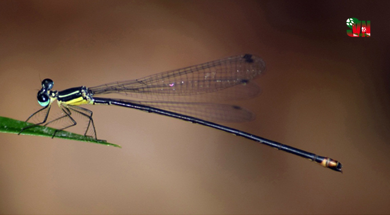 New Species of Damselfly from the Central Highlands of Vietnam