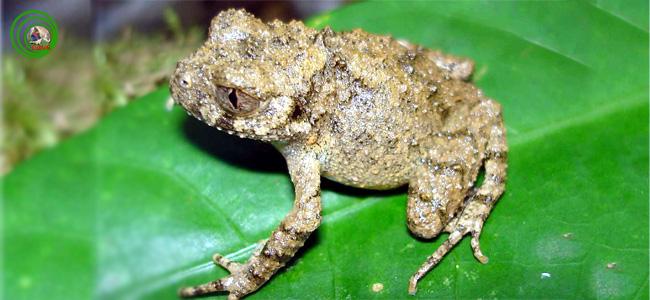 Phát hiện một loài cóc mày miền trung việt nam L_tuberosus