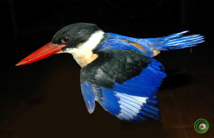Sả Đầu Đen Halcyon Pileata Đây Là Loài Chim Bói Cá Sống Ở Rừng Ngập Mặn Khá  Hiếm Ở Nước Ta. - Ảnh: Mikhail.