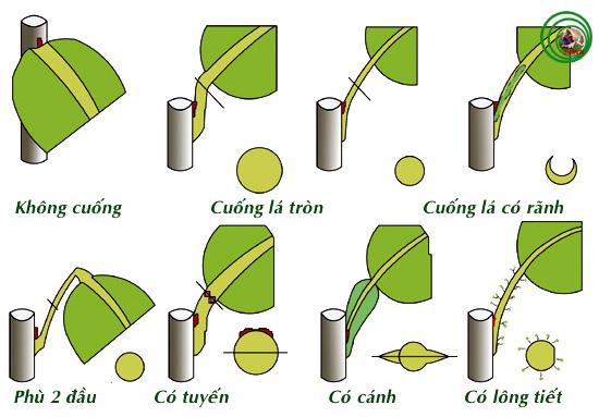 Thuật ngữ cây cảnh và cấu trúc thực vật (Phần 1)  D_cuongla